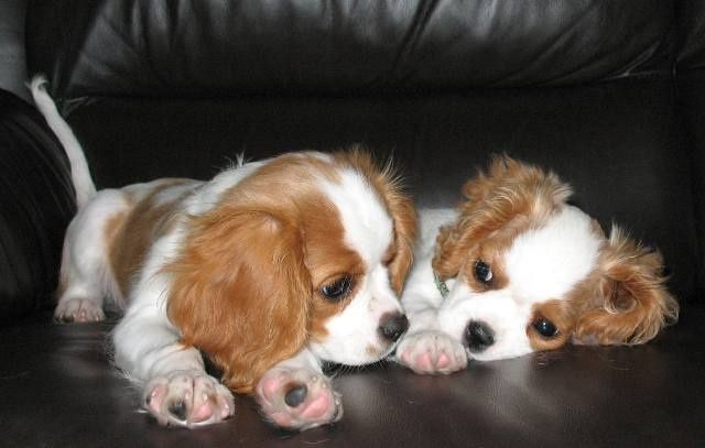 cute charles spaniels paws dogs