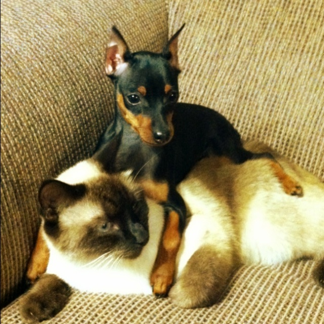 15 Reasons Siamese Cats Are Not The Friendly Cats Everyone