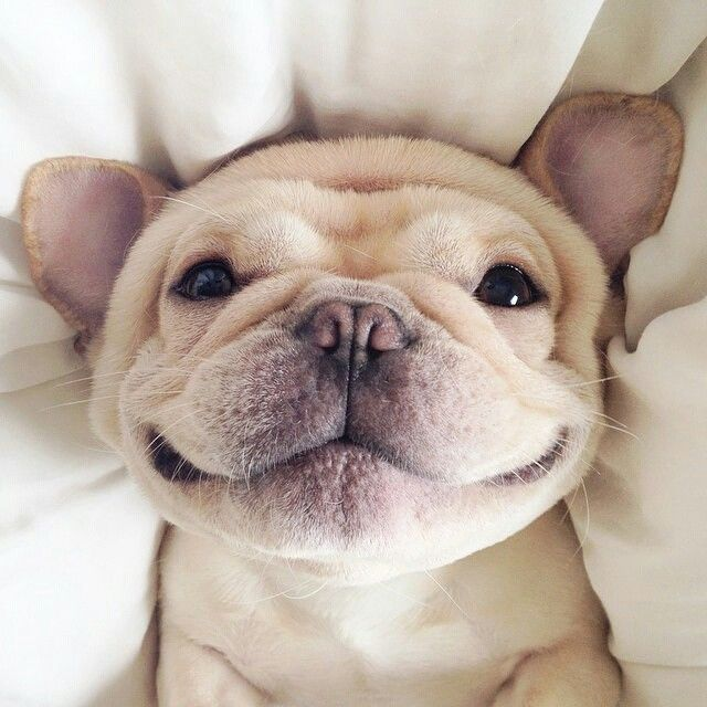 french bulldog smile