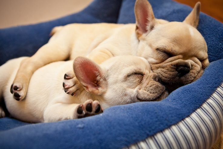 french bulldogs sleeping