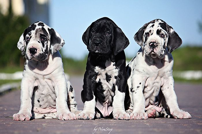great danes puppy pics