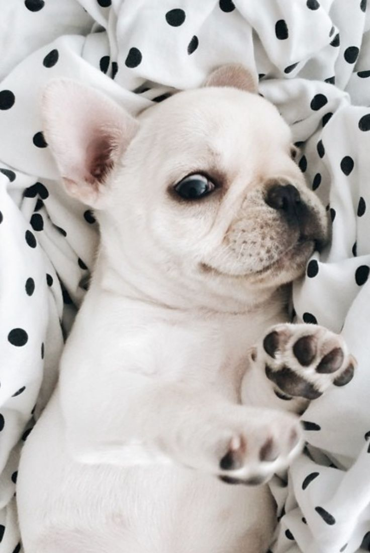 happy french bulldog puppy