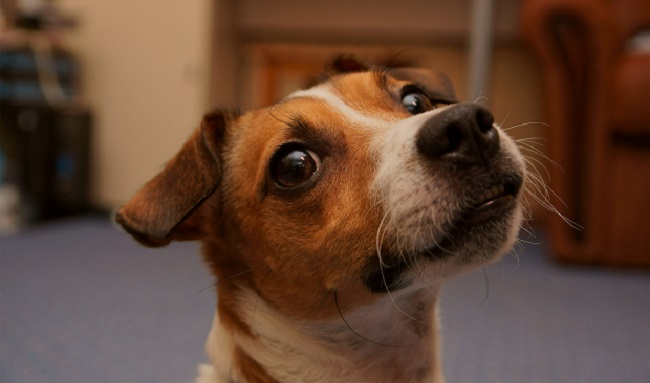 Puppy names jack russell terrier