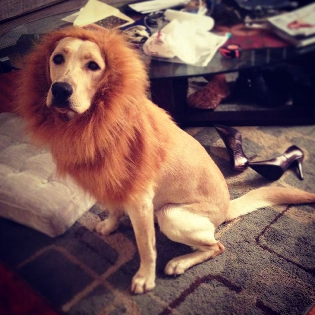 lion costume source - Halloween Costumes For Labradors