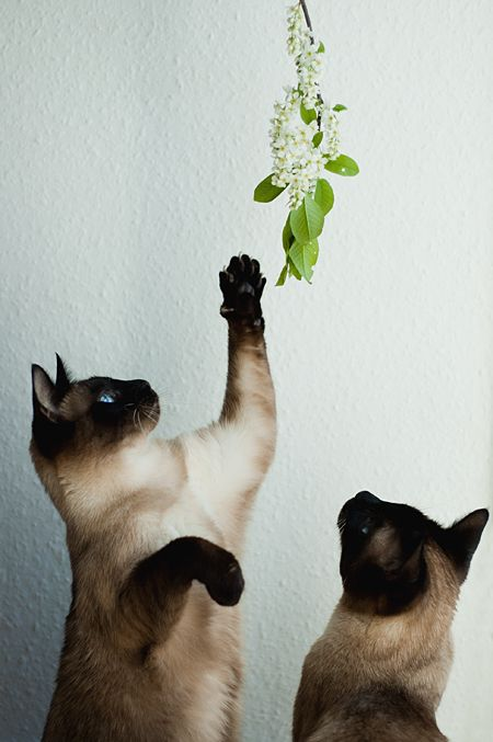 playing flower siamese kitty