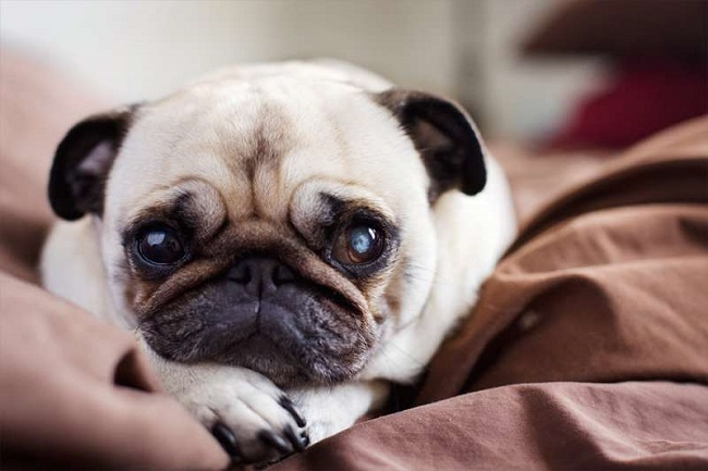 pug eyes dog face
