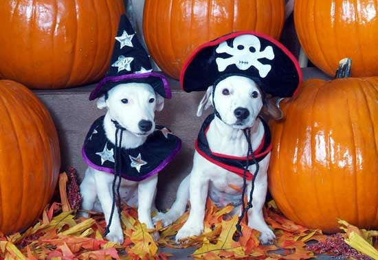 ready for Halloween jack russells