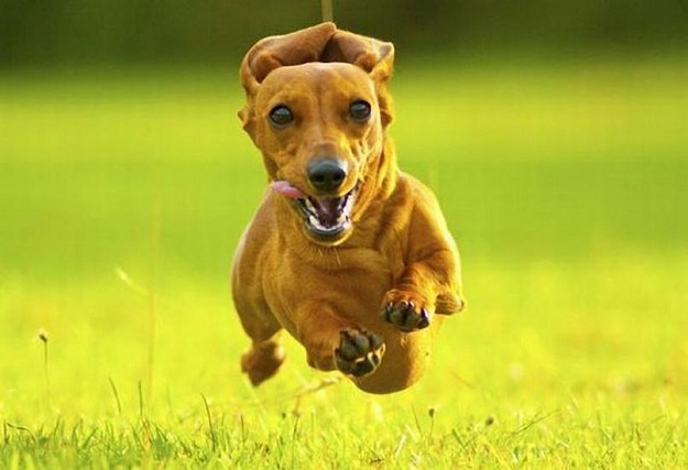 Running Dogs Faces Running Dachshund Face