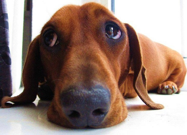 17 things all dachshund owners must never forget