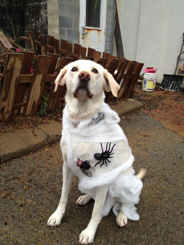 spider web labrador - Halloween Costumes For Labradors