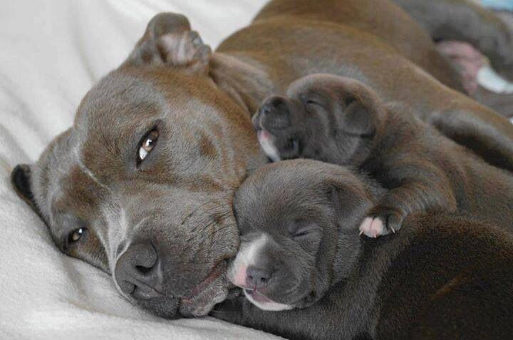 16 Reasons Staffordshire Bull Terriers Are The Worst