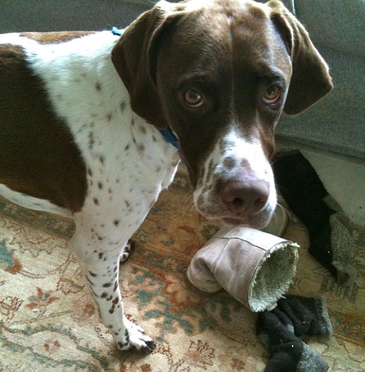 Pointer dog guilty