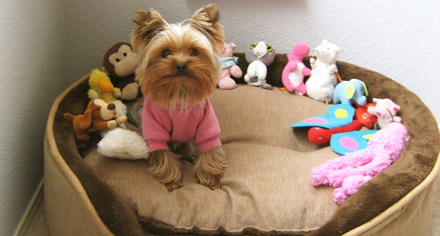 Yorkshire Terrier on bed