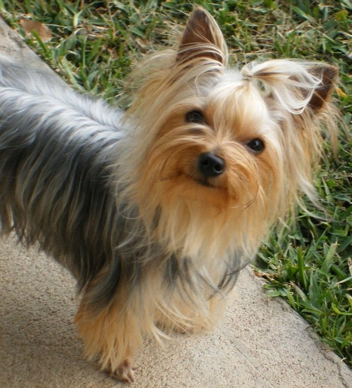 14 Signs You Are A Crazy Yorkshire Terrier Person