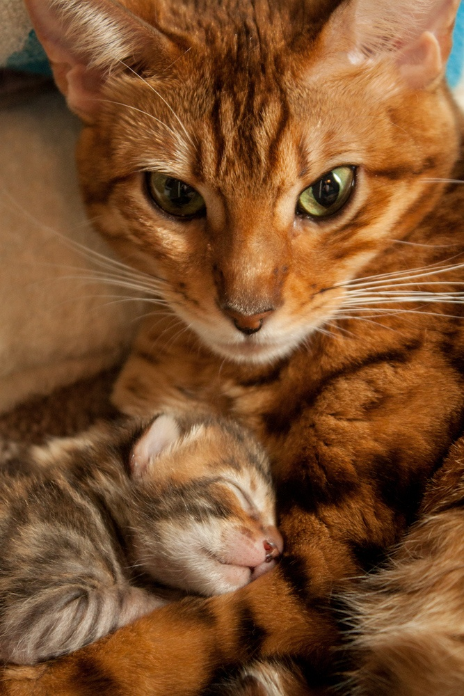 big cool bengal cat and kitty