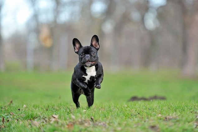 Image result for earth day french bulldog