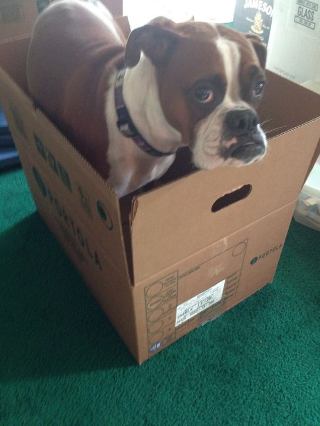 [Image: boxer-dog-in-box-scared.jpg]