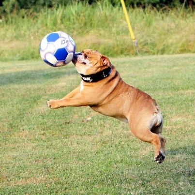 bulldog ball play