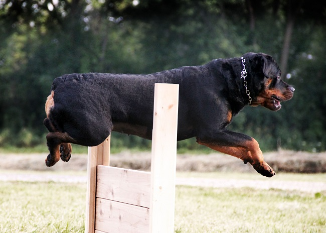 cool jump dog rottweiler