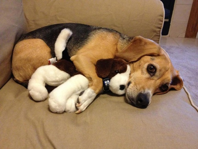 18 things all beagle owners must never forget cute beagle dog toy amazing voltagebd Gallery