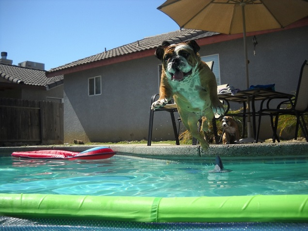 english bulldog fly pool