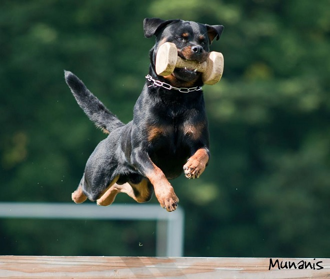 flying cool rottweiler