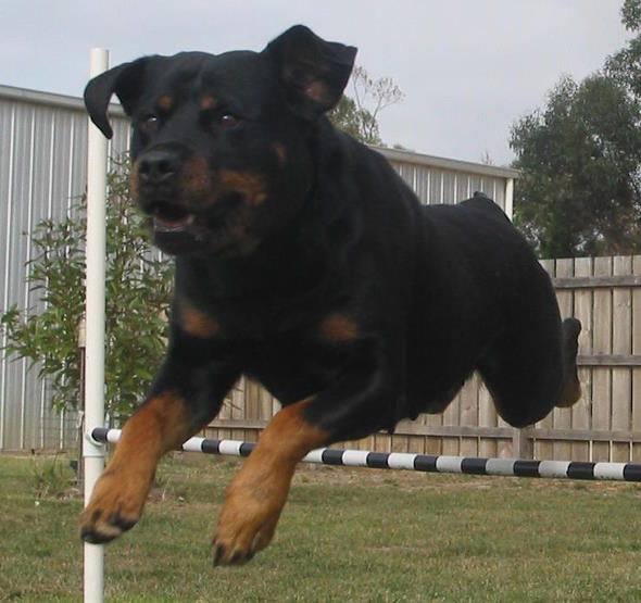 flying rottweiler