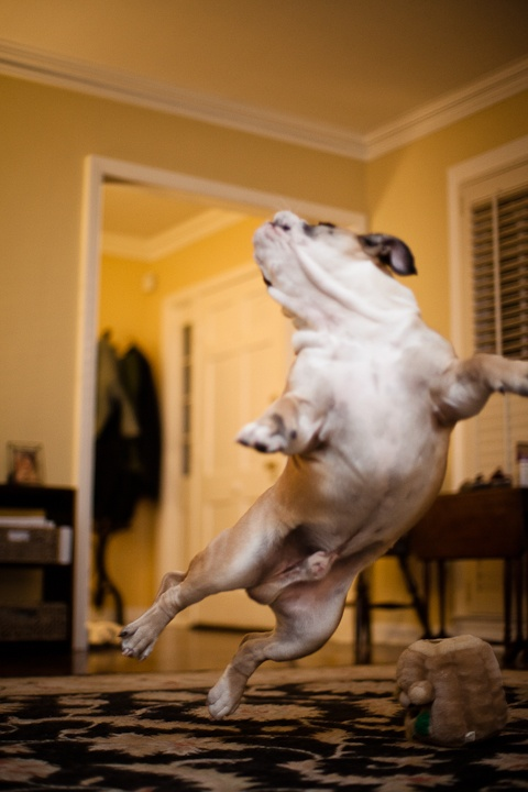 funny jump english bulldog