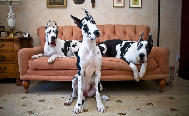 great danes photography sofa