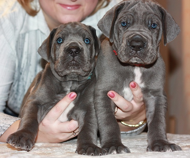 great danes puppies woman