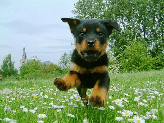 rottweiler flying puppy green grass