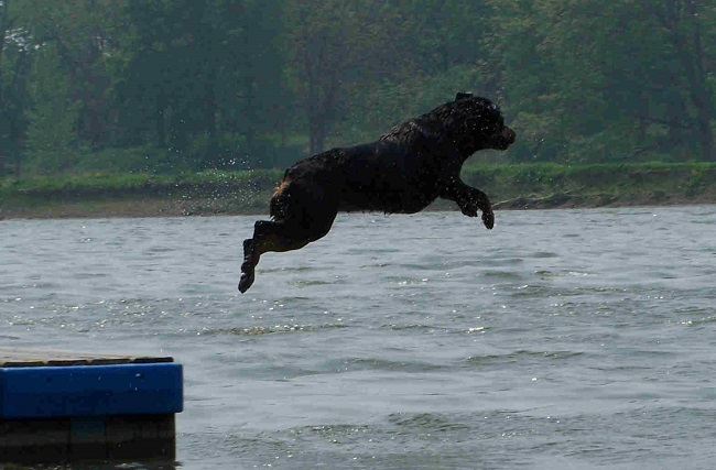 rottweiler jump in water