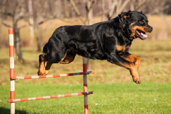 rottweiler-jumping-agility pics