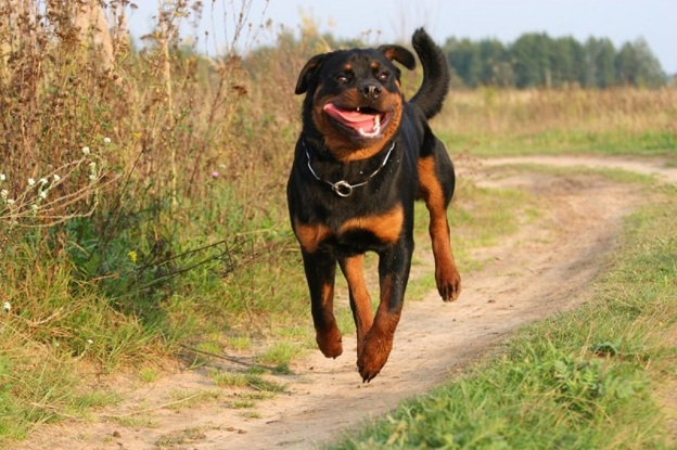 running and flying rottweiler road