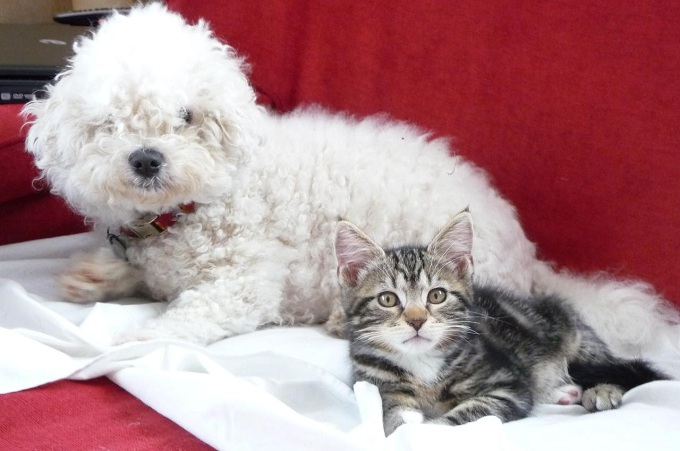 Bichon and cat