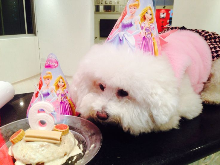 Bichon party