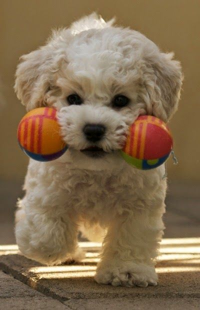 Bichon play