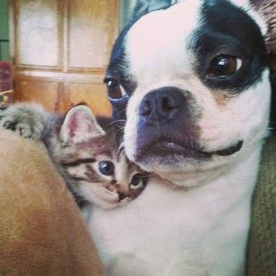 boston-terrier-and-cat