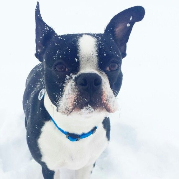 boston-terrier-snow