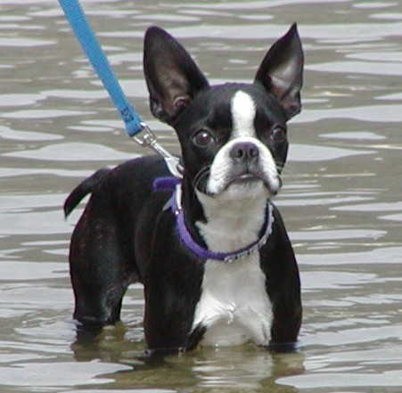 boston-terrier-water