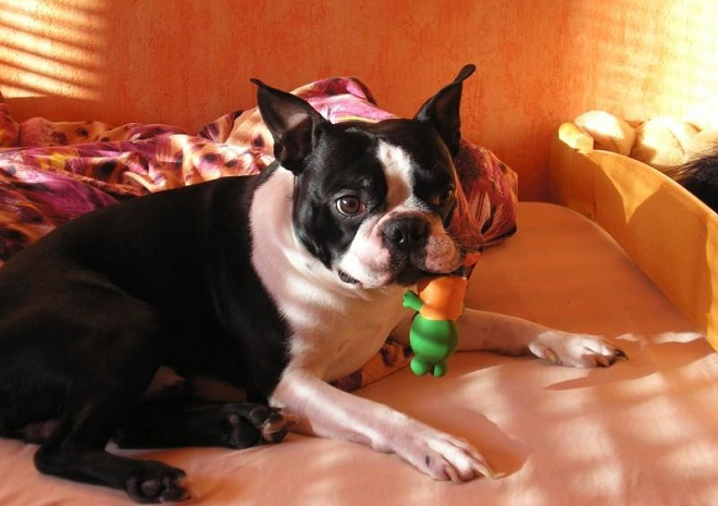 boston terrier with toy