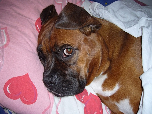 boxer dog sleep in bed