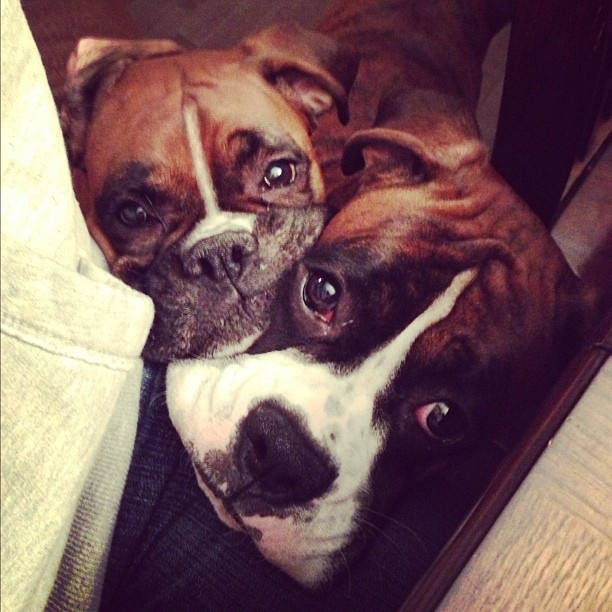 boxer dogs faces begging