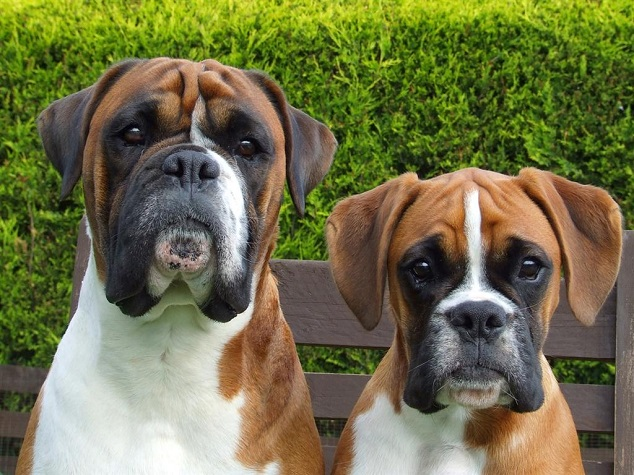 boxers watching dogs pics