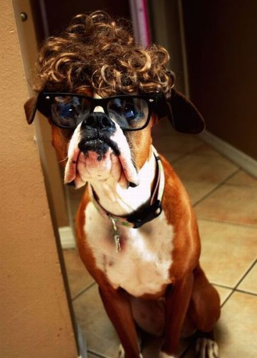 cute boxer dog funny style