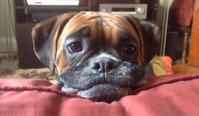 cute face of boxer dog photo