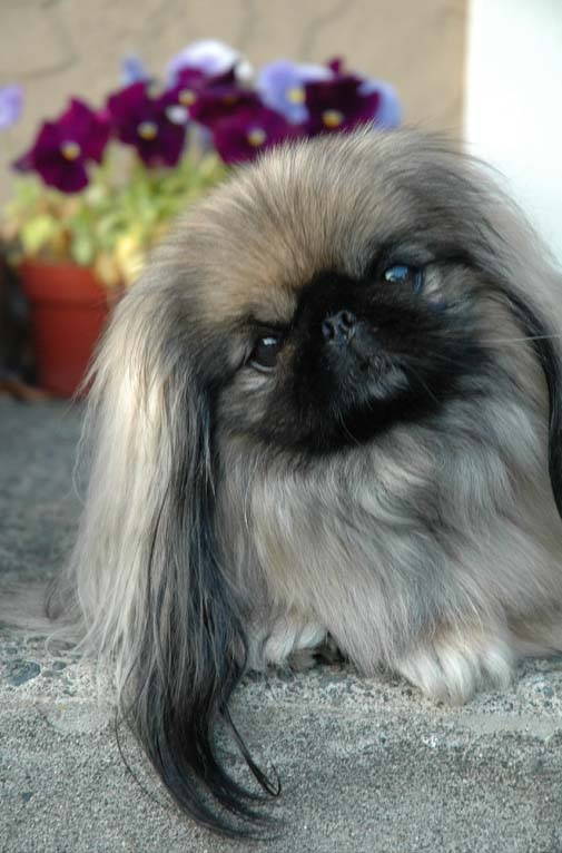 12 Realities That New Pekingese Owners Must Accept