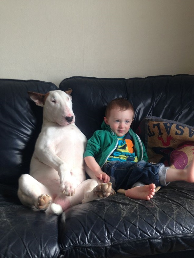english bull terrier kid watching TV friends