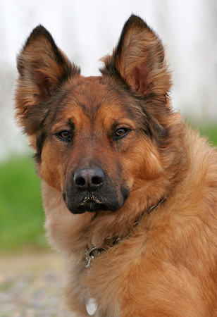9 Unreal Akita Inu Cross Breeds You Have To See To Believe German Mastiff Breeds