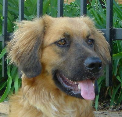 12 Unreal Golden Retriever Cross Breeds You Have To See To ...